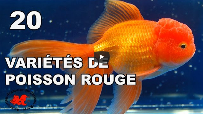 Le site du poisson rouge les vari t s de poisson rouge for Ou placer aquarium poisson rouge